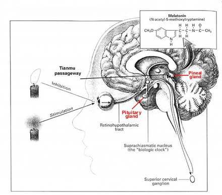 human brain diagram. Melatonin regulates the human
