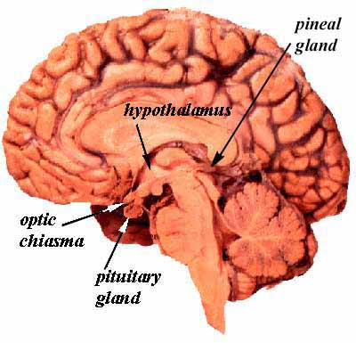 what is the master gland in the human body